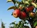 Im Herbst ist Apfelernte im Alten Land