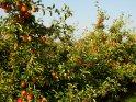 Fotos von herbstlichen Apfelbäumen im Alten Land    Dieses Motiv finden Sie seit dem 18. September 2003 in der Kategorie Herbstfotos.
