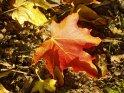 herbstlich gefärbtes Ahornblatt    Dieses Kartenmotiv wurde am 16. Oktober 2003 neu in die Kategorie Herbstfotos aufgenommen.