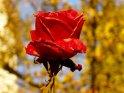 Rote Rose vor verschwommenem Hintergrund    Dieses Kartenmotiv wurde am 06. November 2003 neu in die Kategorie Rosen aufgenommen.