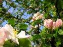 Apfelblüte mit weiteren Blüten im Hindergrund vor blauem Himmel