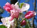 Farbenfrohe Apfelblüten vor blauem Himmel