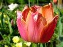 Orange-Rote Tulpe