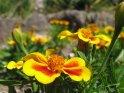 Rot gelbe Blüten