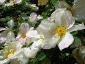Moeysii-Rose Nevada