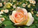 Rose in cremeweiß mit gelber Mitte rot überhaucht