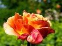Orange-Gelb-Rosa-Rose