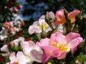Rosenfoto mit zahlreichen Rosen in unterschiedlichen Farbtönen über das Bild verteilt.