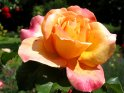 Orange-Rote Rose
