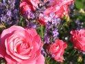 Rote Rosen umgeben von Lavendel