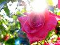 Rote Rose im Gegenlicht