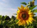Großaufnahme einer Sonnenblume vor blauem Hintergrund