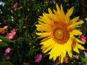 Sonneblume mit Malven im Hintergrund