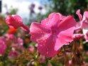 Blüten mit Regentropfen