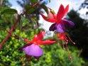 Zwei Fuchsien Blüten nach einem Regenschauer