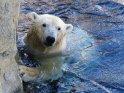Eisbär hält sich an einer Felswand fest und steckt seinen Kopf aus dem Wasser.