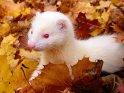 Neugieriges Frettchen im Herbstlaub