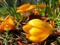 Gelber Krokuss mit Wassertropfen