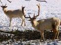 Albinohirsch im Schnee    Aus der Kategorie Hirsche