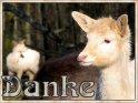 Danke-Karte mit zwei Albino-Rehen    Dieses Motiv wurde am 05. Februar 2005 in die Kategorie Danke eingefügt.