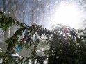 Schneebedeckter Tannenzweig bei strahlendem Sonnenschein mit zahlreichen fliegenden Schneeflocken