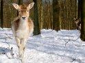 Reh im Schnee    Aus der Kategorie Hirsche