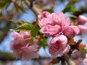 Kirschblüten im Jahr 2005