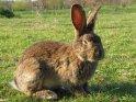 Kaninchen mit hochstehenden Ohren