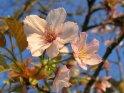 Japanische Kirsche  Prunus serrulata - ´Taki Nioi´