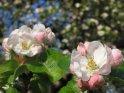 Dieses Kartenmotiv ist seit dem 29. April 2005 in der Kategorie Apfelblüten.