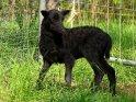 Schwarzes Schaf bzw. Lamm
