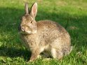 Sitzendes Kaninchen guckt in die Kamera