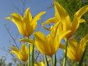 Gelbe Tulpen von unten