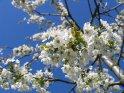 Bei diesem Baum handelt es sich im Gegensatz zu vielen der anderen Bilder in dieser Kategorie nicht um eine Japanische Kirsche.