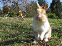 Kaninchen macht Männchen