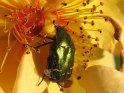 Käfer auf einer Rose