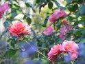 Blick durch Lavendel auf einige Rosen