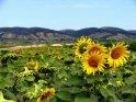 Sonnenblumenfeld beim Neusiedler See im Burgenland, Österreich