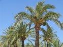 Palmen bei der Kathedrale von Palma de Mallorca