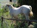 Weißes Pferd im Garten
