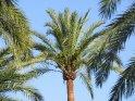 Palmen am Strand von S´Arenal