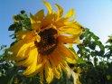 Leuchten gelbe Sonnenblume