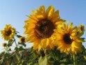 Zwei Sonnenblumen im Vordergrund mit weiteren im Hintergrund