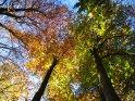 Herbstliche Bäume aus der Froschperspektive: drei bunt leuchtende Baumkronen
