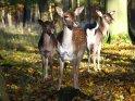Drei Rehe stehen im Herbst am Waldrand.    Dieses Motiv findet sich seit dem 28. Oktober 2005 in der Kategorie Hirsche.