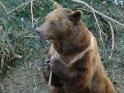 Bär zerlegt die Reste eines Tannenbaums