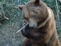 Bär kaut auf einem Ast