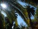 Palmen im Park mit der zwischen den Palmenblättern hervorscheinenden Sonne.