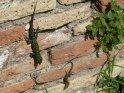 ... An der Mauer zwei der ständigen Begleiter, oder besser Flüchtlinge (Eidechsen). ...