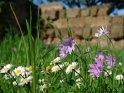 ... Auf dem Weg hinaus aus Ostia Antica begegnet man wie überall in den Ausgrabungen Blumen,...